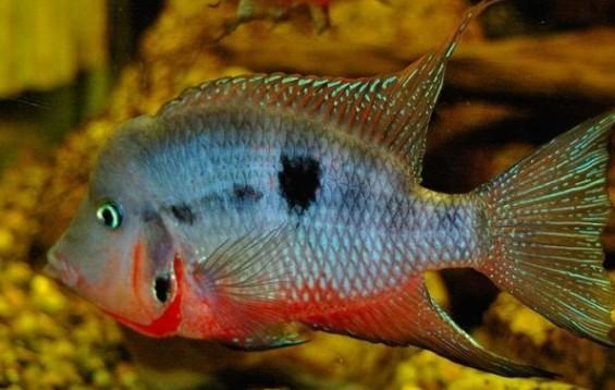 Firemouth Cichlid New World Cichlids Thorichthys Meeki Tank Facts