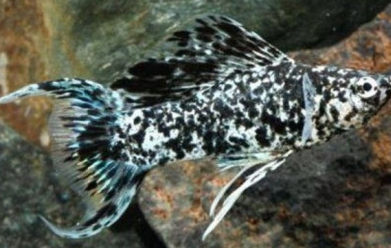 Marble Lyretail Molly Mollies Poecilia Sphenops Tank Facts
