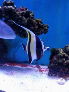 Moorish Idol Tang And Surgeons Zanclus Cornutus Tank Facts