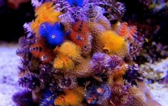 Christmas Tree Worm Coral Fan Worms Spirobranchus Porites Tank Facts