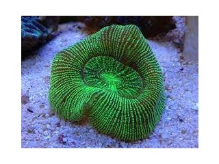 Australian Metallic Stripe Brain Coral