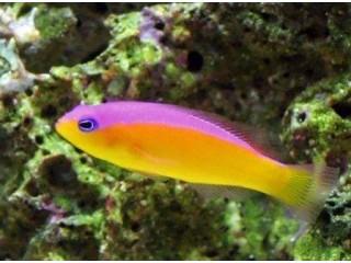 Purpleback Pseudochromis
