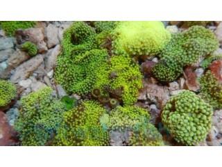 Green Ricordea Mushroom Polyp