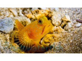 Yellow Watchman Shrimpgoy