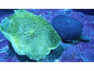 Giant Cup Mushroom Coral