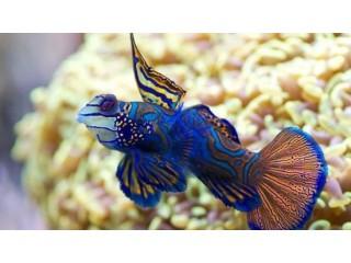 Green Mandarin Dragonet Fish