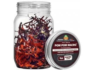 Pom Pom - Live Macroalgae Gracilaria Hayi