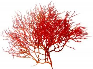 Red Ogo - Live Macroalgae Gracilaria Parvispora